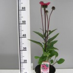 """Echinacea 'Fatal Attraction"""""""