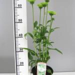 Echinacea 'Green Jewel'