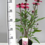 Echinacea 'Summercloud'