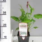 Persicaria amplexicaulis 'Blackfield'