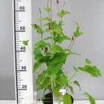 Persicaria amplexicaulis 'Lisan'