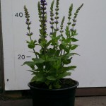 Salvia nem. 'Ostfriesland'